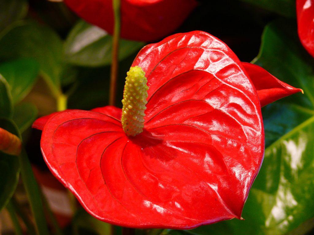 Щучий хвост цветок фото