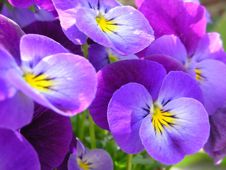 Комнатные цветы фиалки уход и размножение в домашних условиях