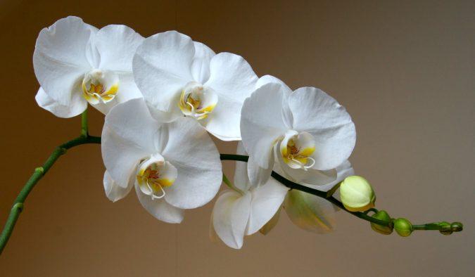 цветок орхидея уход
