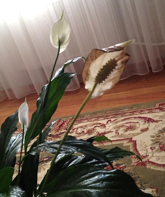 Спатифиллум почернел цветок