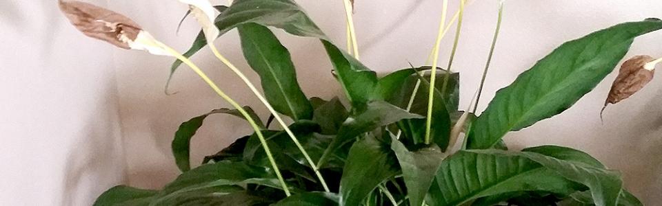 spathiphyllum-zavyal3