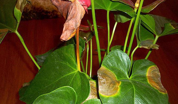 Сохнут листья антуриум