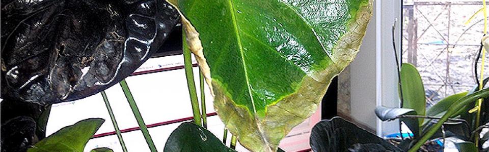 Сохнут листья и цветы антуриум