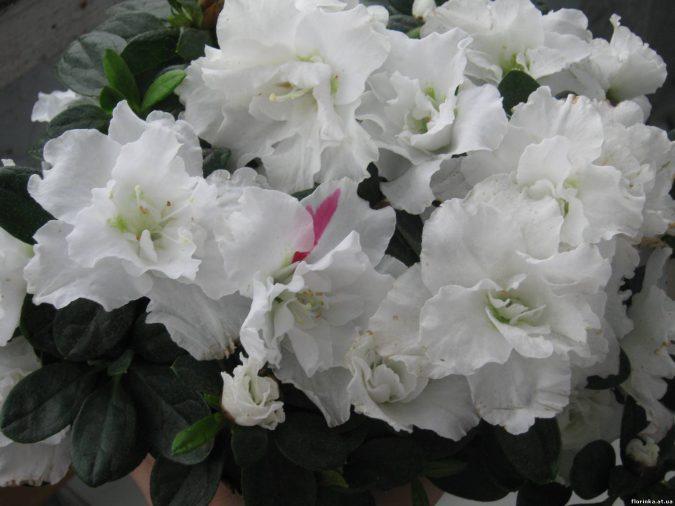 Цветок Азалия индийская