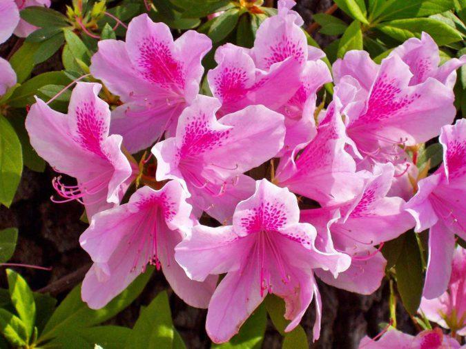 Цветок Азалия японская