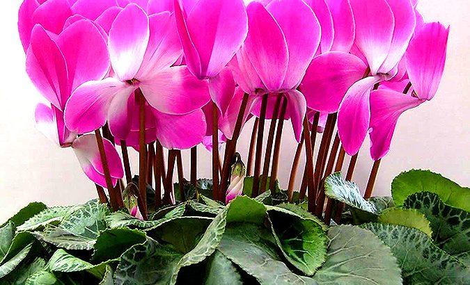 Цветок цикламения