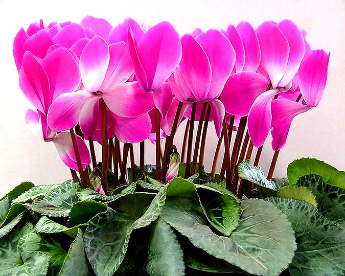 Цветок пеперомия фото