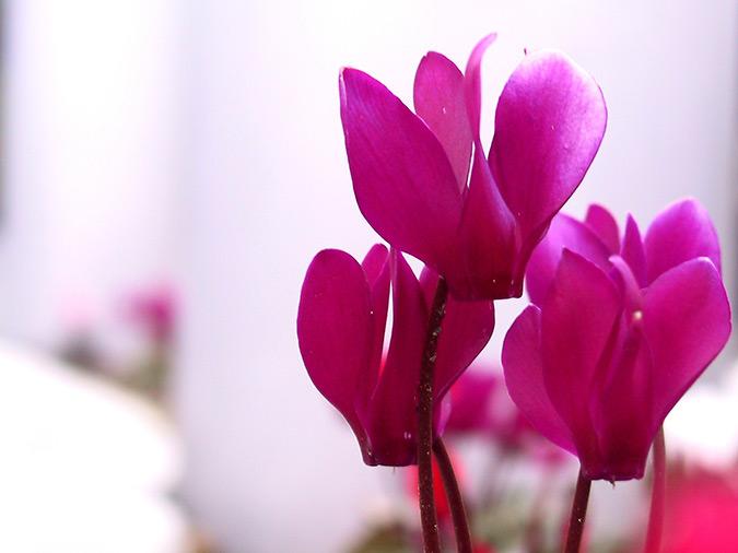 Цветок цикломения