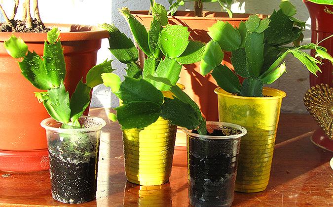 Размножение в домашних условиях цветка декабрист 962