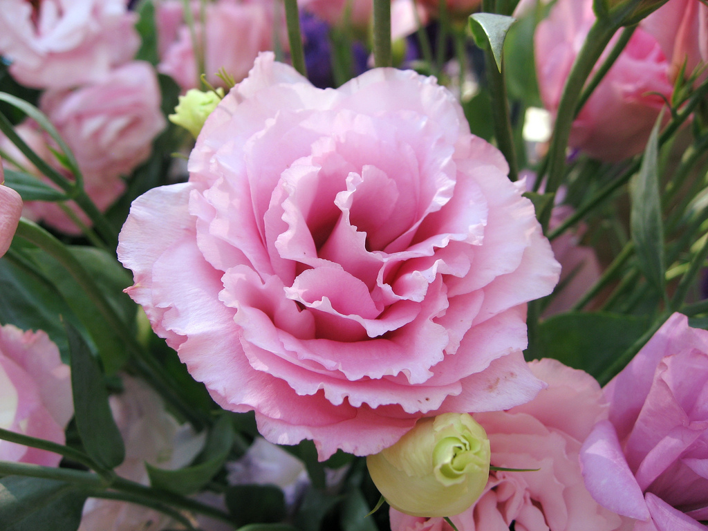 Цветок ночная красавица фото