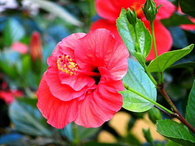 Гибискус китайская роза
