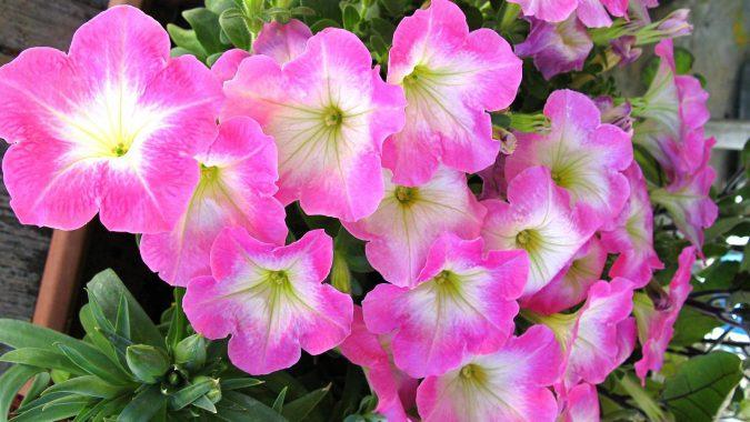 цветок петунья фэнтези