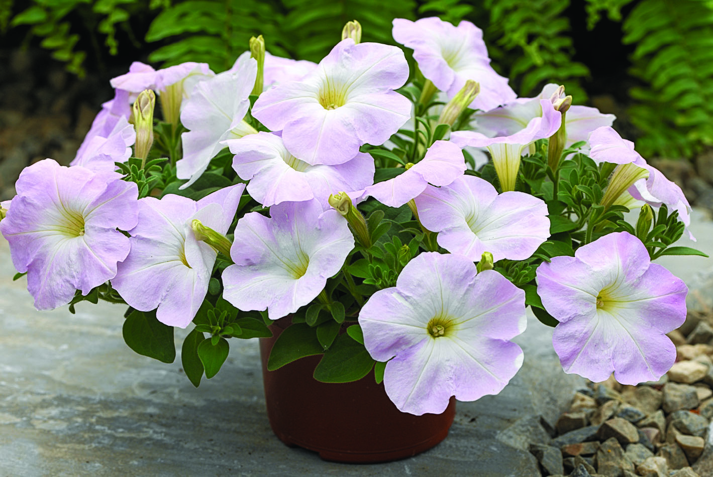цветок петунья рамблин