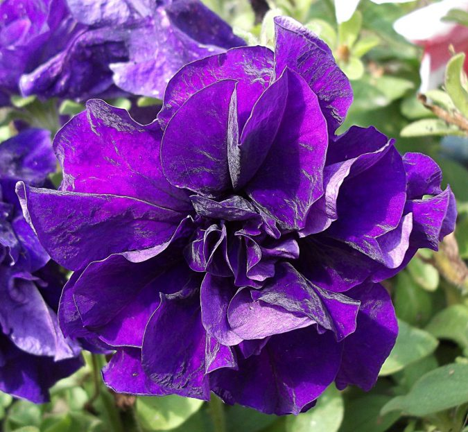 цветок петуния Триумф