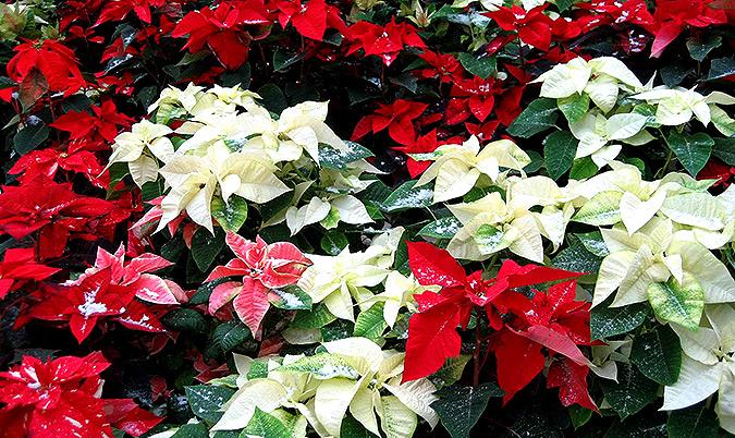 Пуансетия рождественская звезда
