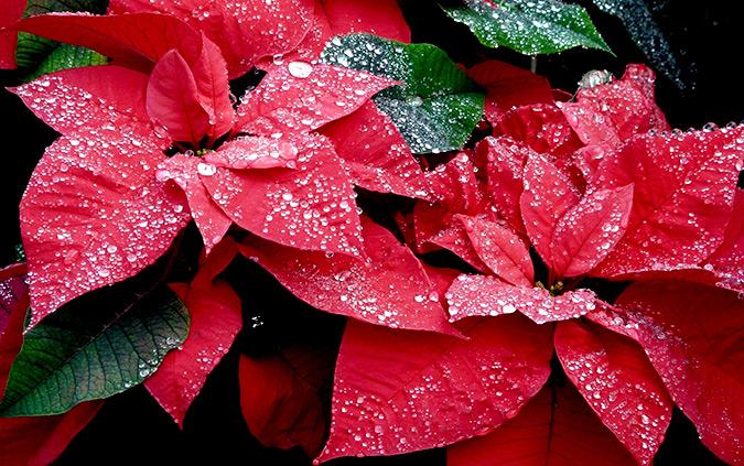 Пуансетия цветок