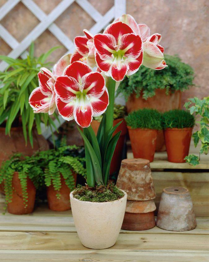 Так выглядит цветок амариллис