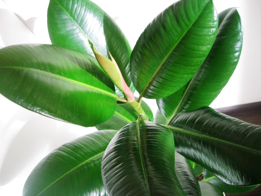 Растения семейства фикусовых