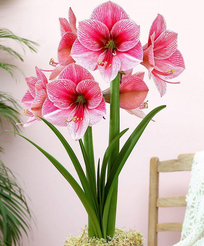 Цветок гиппеаструм и амариллис