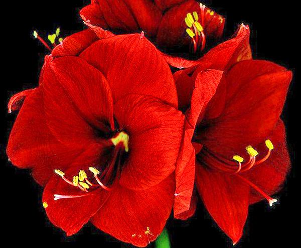 Так выглядит цветок гиппеаструм император