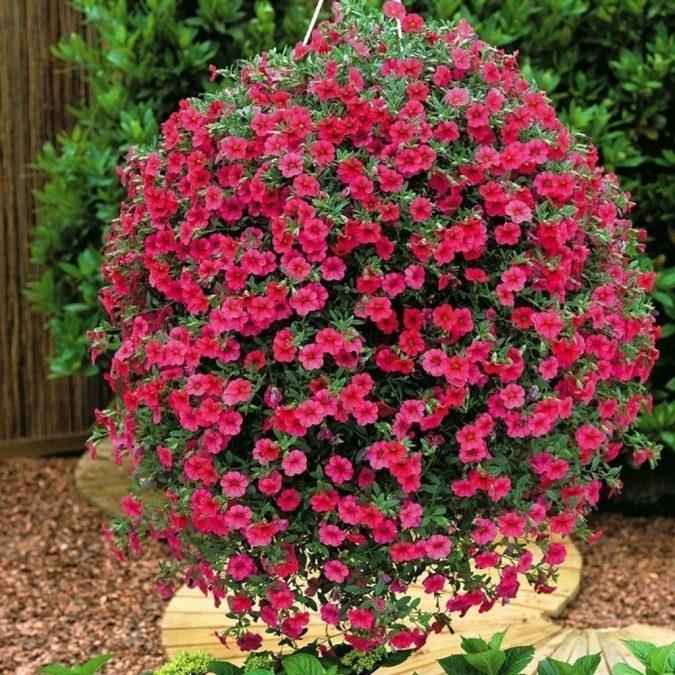 Цветок лобелия огненная (блестящая)