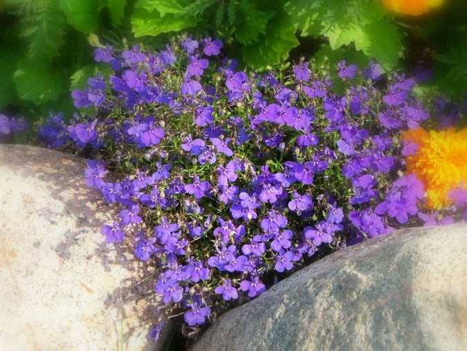 Цветок лобелия пурпурная