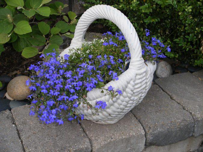Цветок лобелия синяя