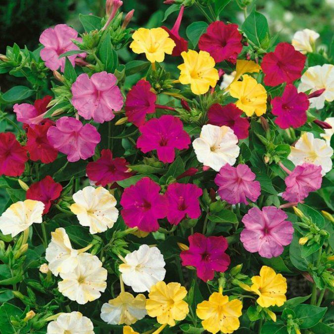 Цветок мирабилис