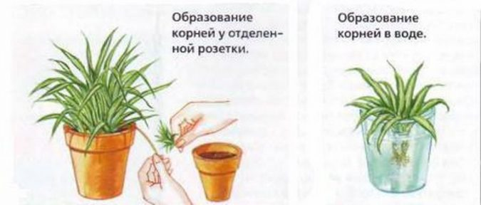 Размножение цветка боковыми отростками