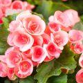 Цветок бегония, уход в домашних условиях