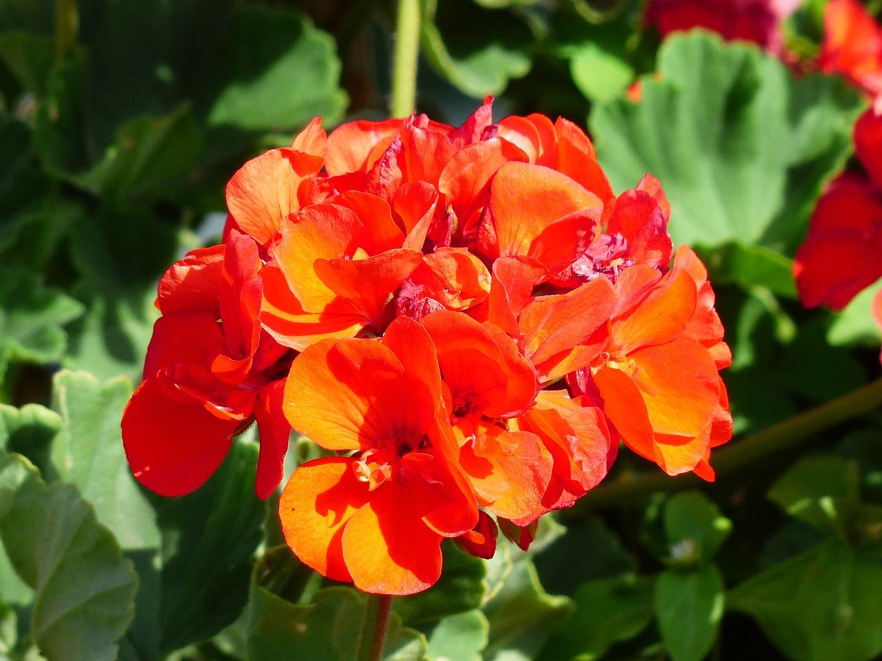 Пеларгония (Герань) - выращивание 11