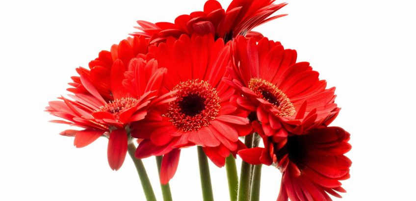 гербера цветок