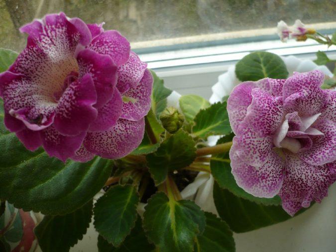 Цветок глоксиния прекрасная