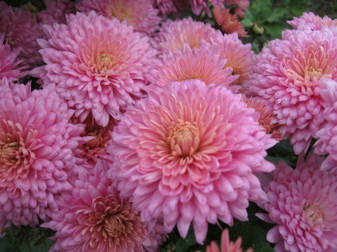 Цветок корейская хризантема