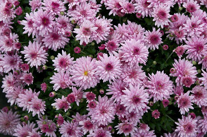 Хризантема шелковицелистная