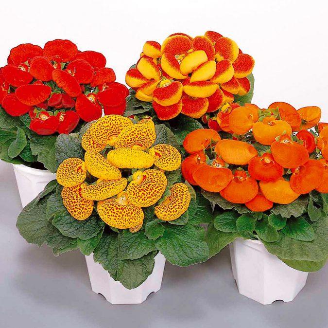 цветок кальцеолярия