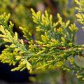 Кипарисовик растение