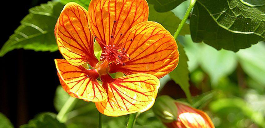 растение абутилон