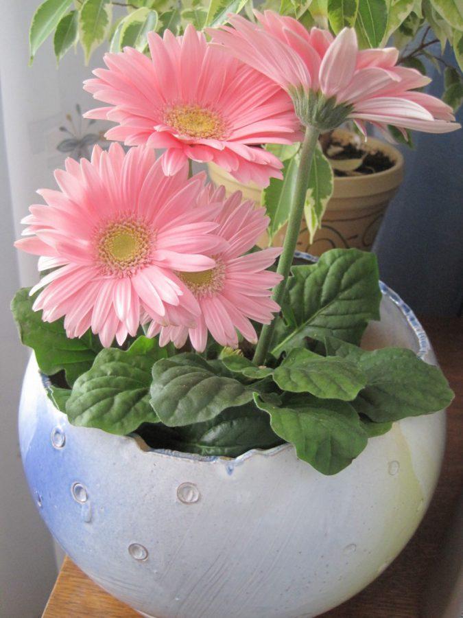 цветок гербера комнатная