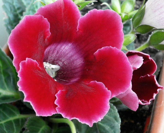 Цветок глоксиния гибридная