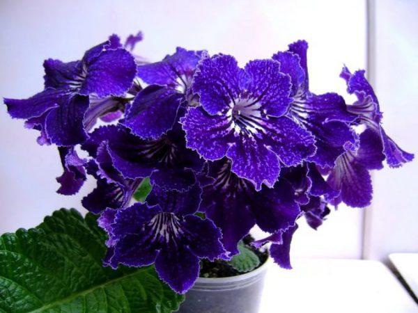 Цветок стрептокарпус вендленда