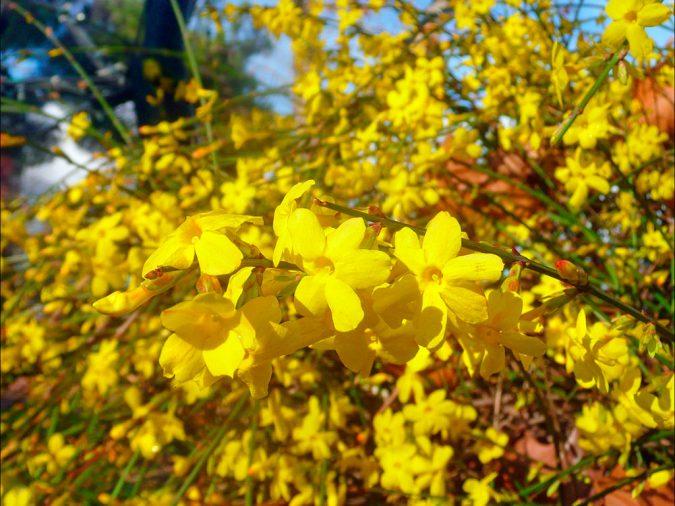 Цветок жасмин голоцветковый