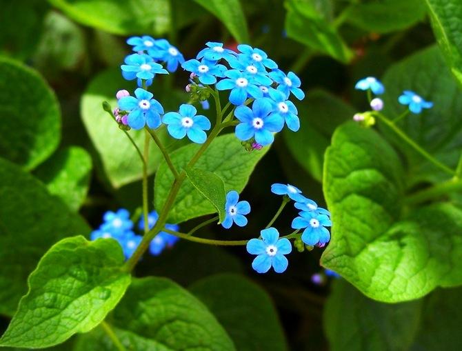 Цветок бруннера крупнолистная