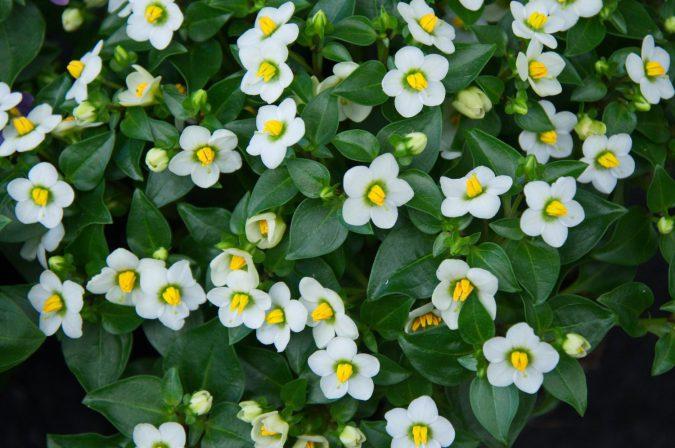 экзакум цветок