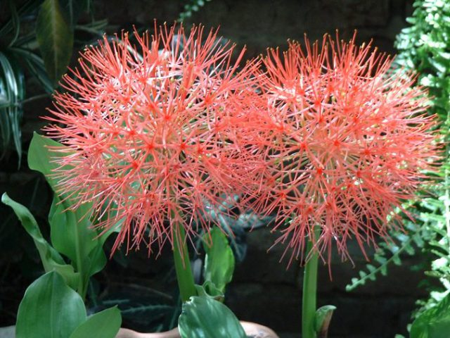 гемантус многоцветковый