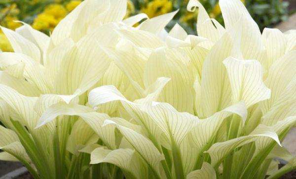 хоста цветок