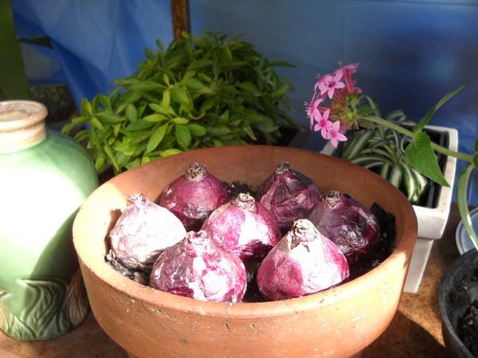 цветок геоциния, луковицы