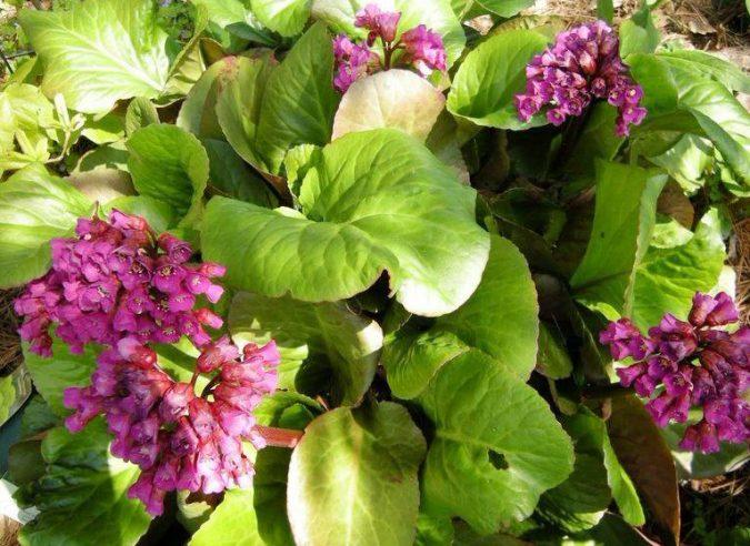 растение бадан, лечебные свойства