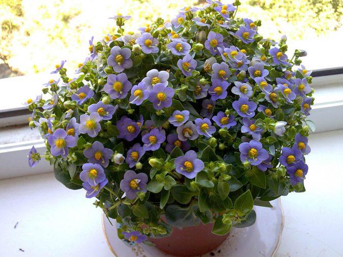 цветок экзакум