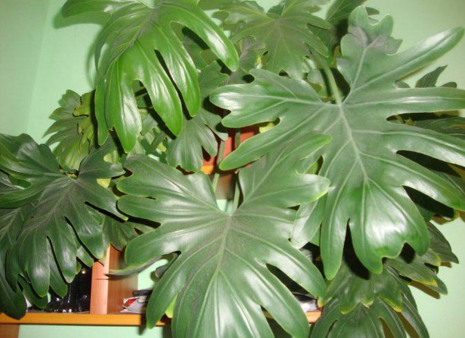 цветок филодендрон селло